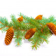 Cones on the branch — Stock fotografie