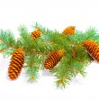 Cones on the branch — Lizenzfreies Foto