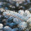 Fir-tree branches  — Stock Photo