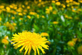Dandelions field — Stock Photo