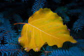 Autumn leaf on blue firtree — Stock Photo