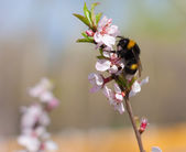 Humblebee on branch — Stock Photo