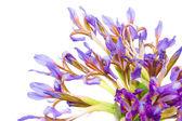 鸢尾花 — 图库照片