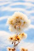 Snowy dry plant — Stock Photo