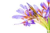 Květina kosatec — Stock fotografie