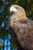 Eagle in wildlife — Stock Photo