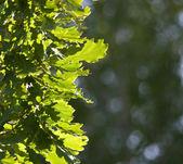 カシの葉 — ストック写真