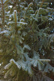 Firtree with snow — Foto Stock