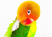 Lovebird agapornis-fischeri — Stock Photo