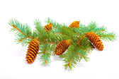Cones on the branch — Stock Photo