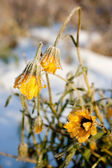 Yellow frozen flower — Stock Photo