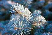 Blue fir with frost — Stock Photo