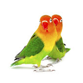 Pair of lovebirds agapornis-fischeri — Stock Photo