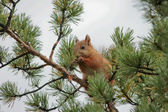 Squirrel in spruce — Stock Photo
