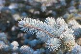 Fir-trädgrenar — Stockfoto