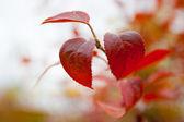 Hojas rojas de otoño — Foto de Stock