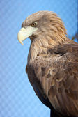 Eagle on blue background — Stock Photo