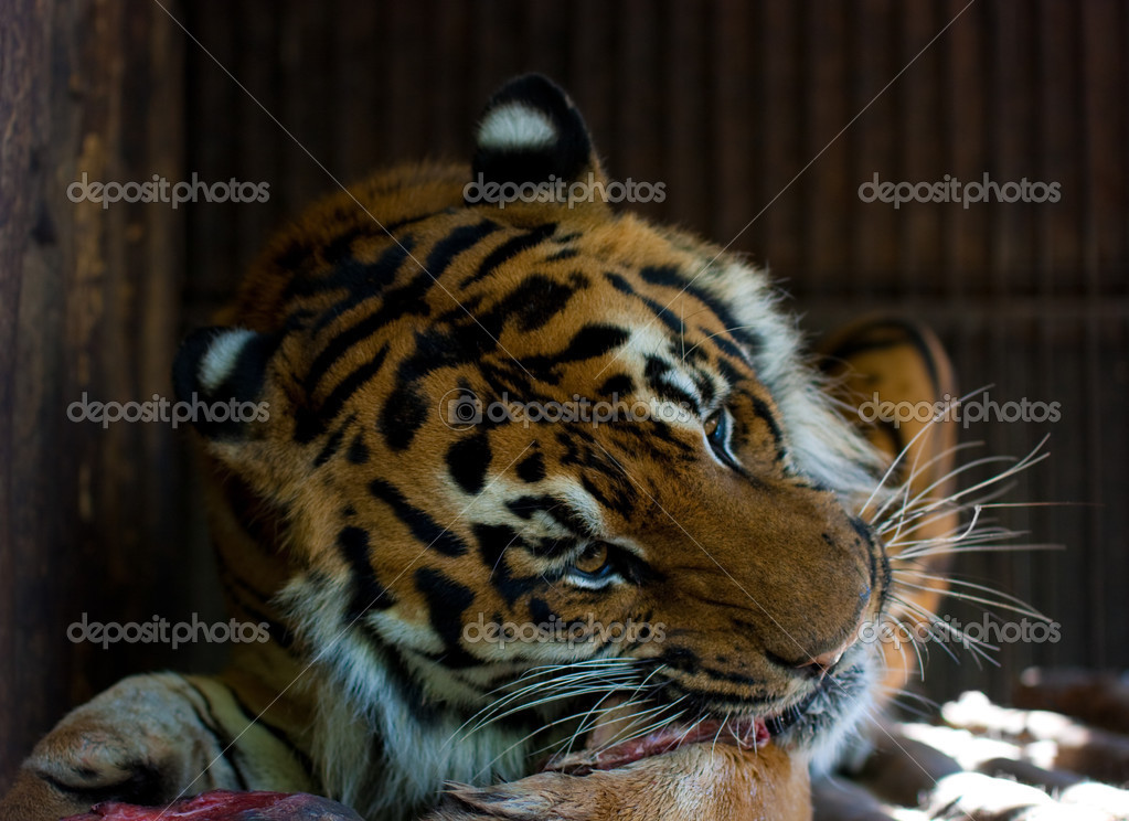 Tiger Eat Meat Tiger Eating Meat Photo by