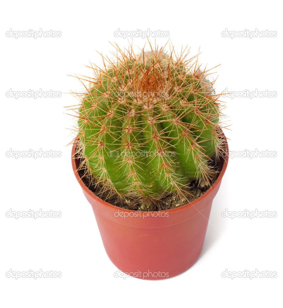 Close Up Of Small Cactus Houseplant In Pot Stock Images - Image ...