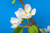 Blooming apple-tree twig — Stock Photo
