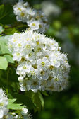 Branch and blossom of bird cherry — Stock Photo
