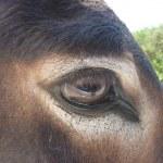 Donkey eye — Stock Photo