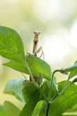 Male Praying Mantis standing on a green chilli plant — Stock Photo