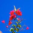 Flying butterfly arriving on a fuchsia bouganville flower — Stock Photo #14649957