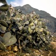 Prickly Pear bush on a desert path in Sicily Italy — Stock Photo