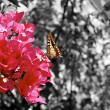 Butterfly on a fuchsia bouganville flower — Stock Photo