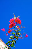 Flying butterfly arriving on a fuchsia bouganville flower — Stock Photo
