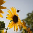Stock Photo: Bumblebee flying towards sunflower