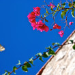 Flying butterfly on a pink bouganville flower — Stock Photo