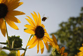Bumblebee flying towards a sunflower — Stock Photo