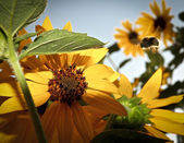 Busy bumblebee flying towards a sunflower — Stock Photo