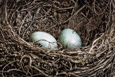 Blackbird nest with two eggs — Stock Photo