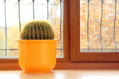 Cactus plant in the house — Stok fotoğraf