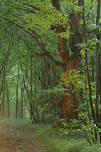 Lime tree in forest — Stockfoto