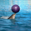 Trained dolphin — Stock Photo #12713628