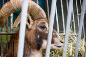 Ram in zoo cage — Стоковое фото