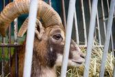 動物園の檻の中の ram します。 — ストック写真