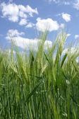 Fresh rye field — Stock Photo