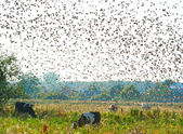 Crowd of starlings — Stock Photo