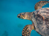Turtle in tropical underwater — Stock Photo