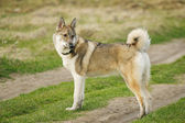 Young husky dog  on the open air — Foto Stock