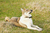 Young husky dog  on the open air — Foto de Stock