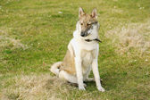 Young husky dog  on the open air — Стоковое фото