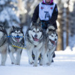 Stock Photo: Sled Dog Racing