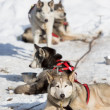 Sled Dog Racing — Stock Photo #25248065