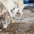 Sled Dog Racing — Stock Photo